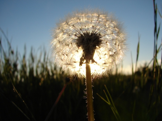 sunburst-dandelion-1393738